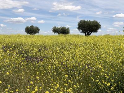 Los tres olivos y la primavera en el Parque de Valdebebas